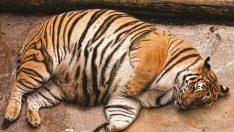 Obez Hayvanlar – Hayvanlarda Obezite ve Şişmanlık
